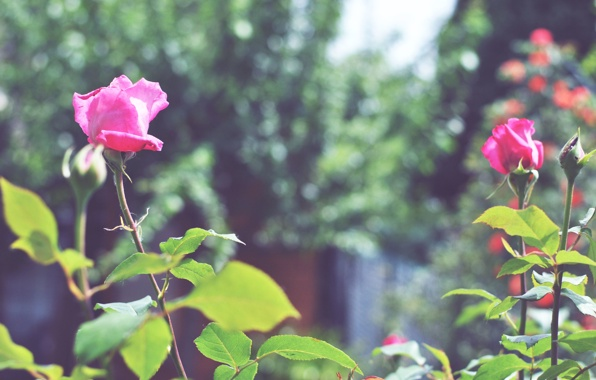 roza-buton-cvetok-lepestki-2940.jpg