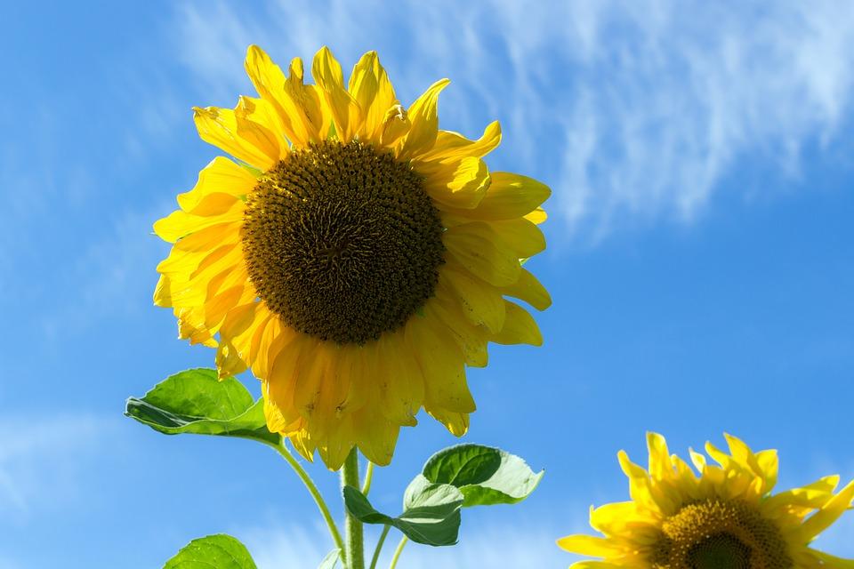 sunflower-1705180_960_720.jpg