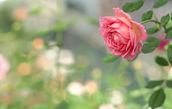 roza-buton-makro-boke-7392.jpg