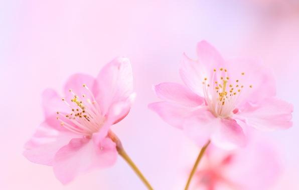 cvety-rozovye-vishnya-fon.jpg