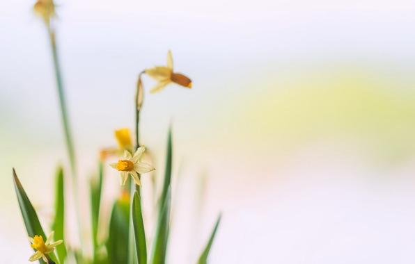 cvety-narcisy-fon-7470.jpg