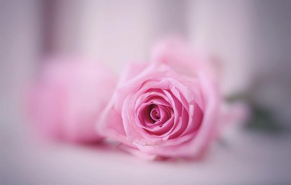 tsvetok-roza-fon-11.jpg