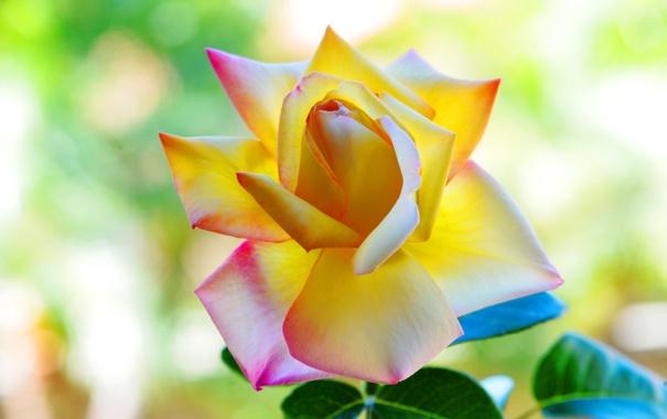 roza-krasivaya-lepestki-leto.jpg