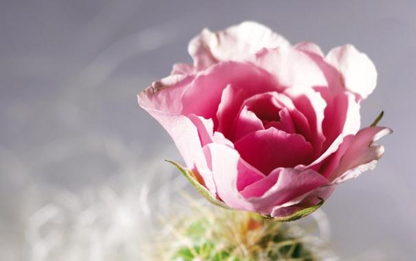 cvetok-roza-lepestki-makro.jpg
